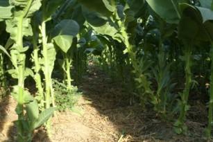 20120211003301-suelos-mejores-tabaco-r4-thumb307-.jpg