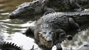 20120218162013-crocodylus-acutus-eeuu.jpg