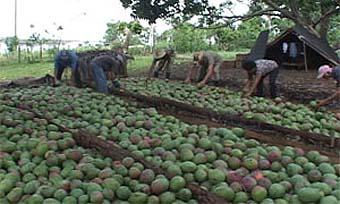 20120622144225-mango-1.jpg