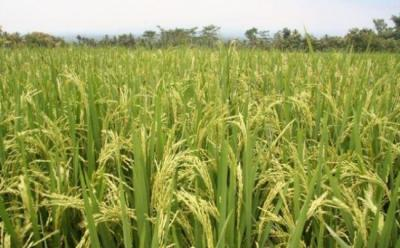 20121212220314-arroz.jpg