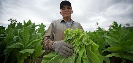 20111216045342-proceso-cultivo-tabaco2.jpg