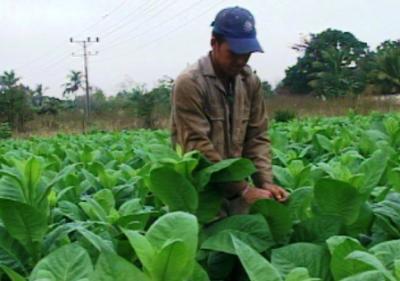 20120118045934-tabaco-yusniel.jpg