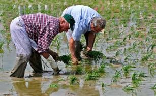 20120204230555-siembra-arroz-thumb307-.jpg
