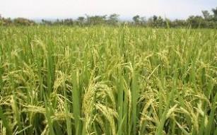 20120218162948-arroz-campo-thumb307-.jpg