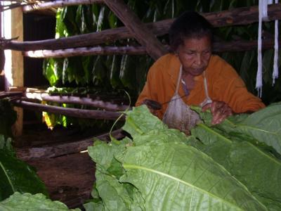 20120223230619-tabaco-ensartadora.jpg