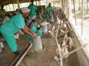 20120320045817-avicultura-cubana-65-thumb307-.jpg