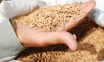 20120618212256-arroz-semillas.jpg