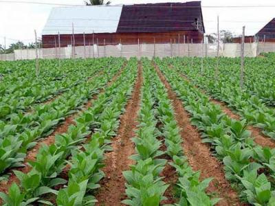 20121015152251-tabaco.jpg
