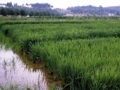 20121206233438-arroz.jpg